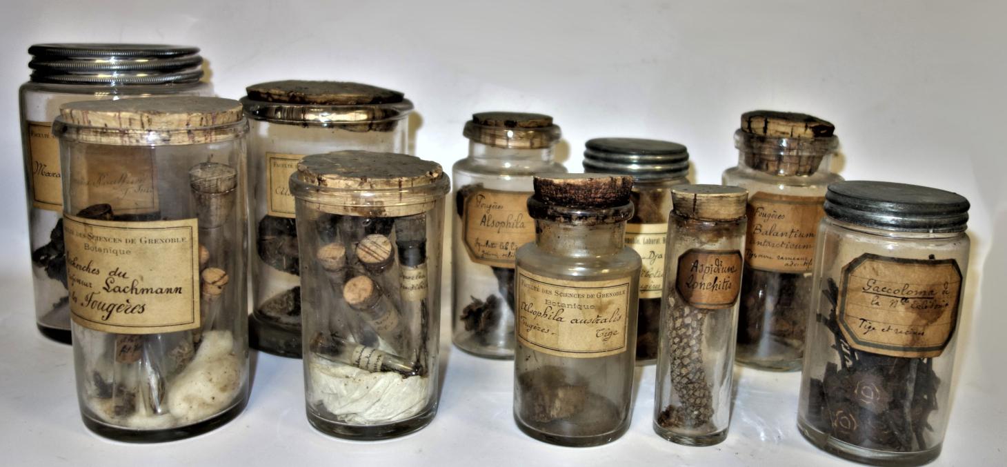 Fougères étudiées par Lachmann - UFR de biologie © UGA